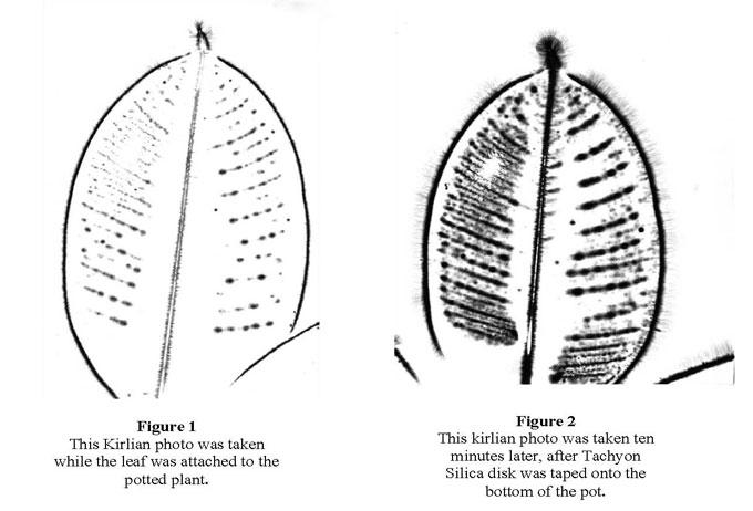 ficus-leaf-tachyon.jpg