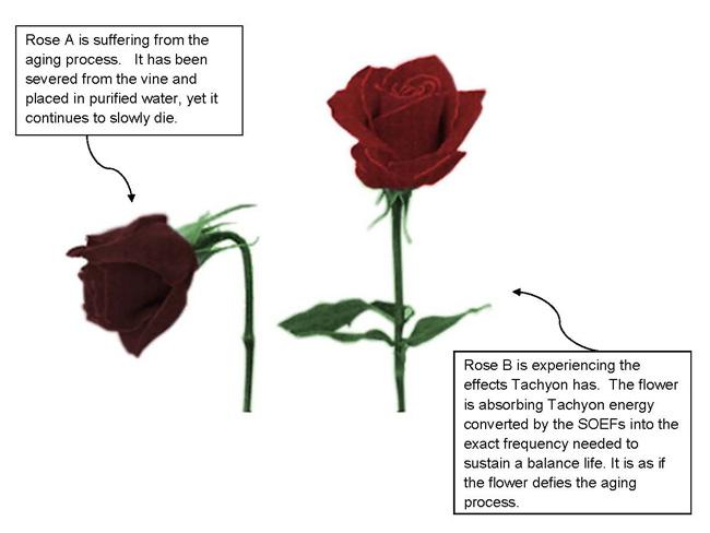 tachyon-roses-study.jpg