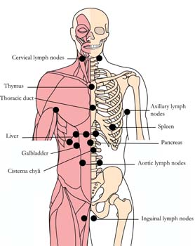 os-22-lymphatic-glandular-tlc-points.jpg